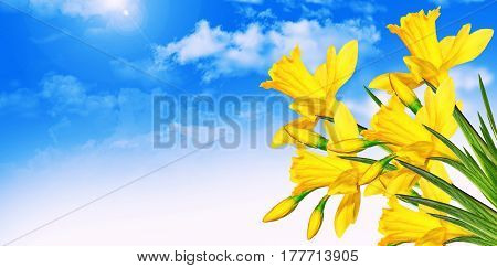 Bright and colorful spring flowers daffodils. scenery
