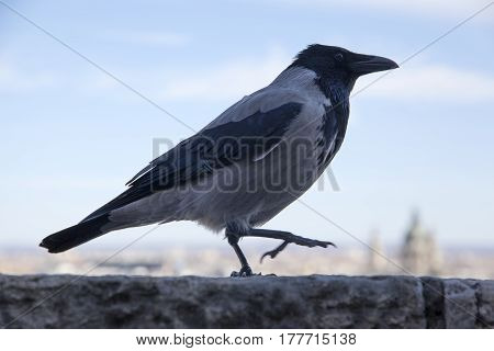 Closeup photo of a hooded crow at Budapest Castle