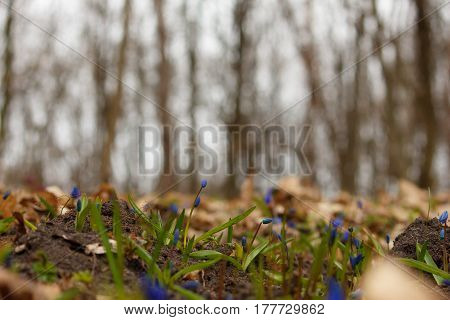 Blue scilla (Scilla siberica) blooming in the forest. Shallow depth of field. Selective focus.