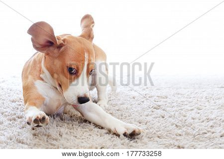 Funny Dog On Carpet