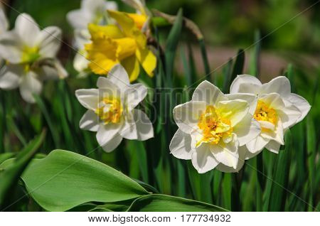Group of narcissuses on a solar bed