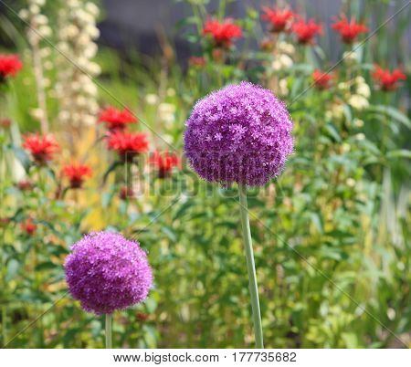 Big Allium flower growing in the garden