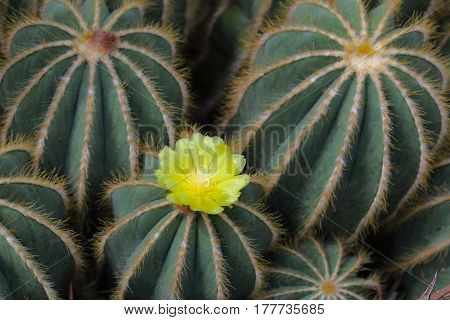 Single yellow flower blossom on golden ball cactus