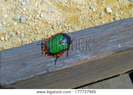 Bright Green and Orange Beetle Bug Crawling