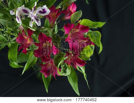 The colorful alstroemeria and on a black