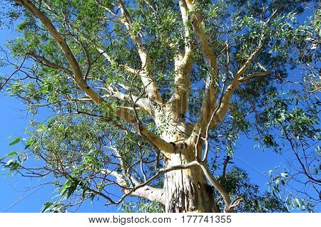 Looking up! Eucalyptus gum tree against a blue Australian sky. View from below.
