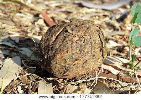 Fallen walnut nut shell on ground beneath garden tree forage