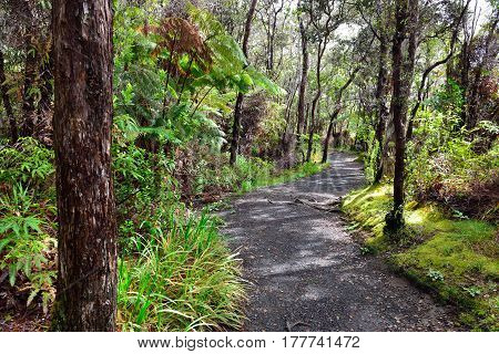 Tropical Forest Trail In Volcanoes National Park, Big Island Of Hawaii