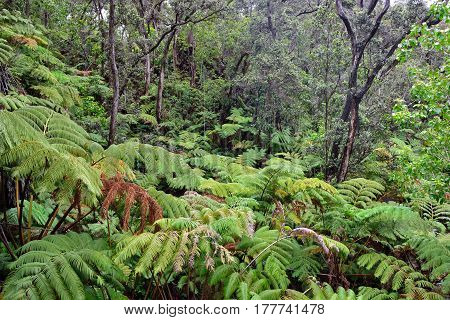 Tropical Forest In Volcanoes National Park, Big Island Of Hawaii