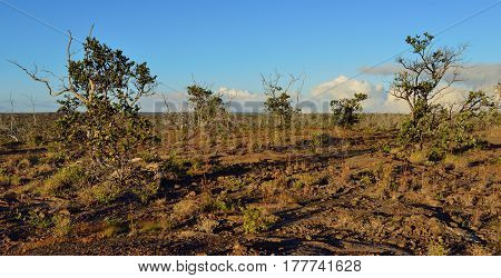Trees Growing On Old Lava In Volcano National Park At Sunset, Big Island Of Hawaii