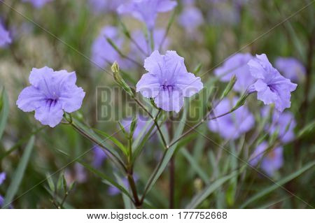 blue ruellia tuberosa flower in nature garden
