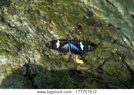 Laparus doris, Doris longwing, Doris butterfly with black, blue and white wings on a rock