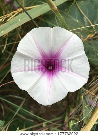 white swamp morning glory flower in nature garden