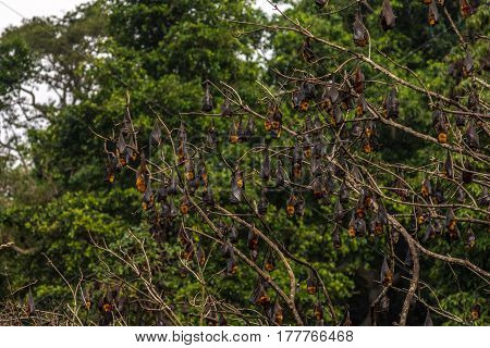 Tree Full Of Roosting Flying Foxes