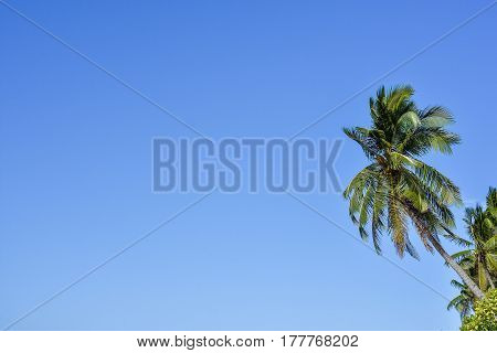 Upwards view of the tops of tall palm trees against a clear blue sky.
