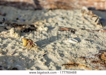 Golden Shelled Hermit Crab Crawls