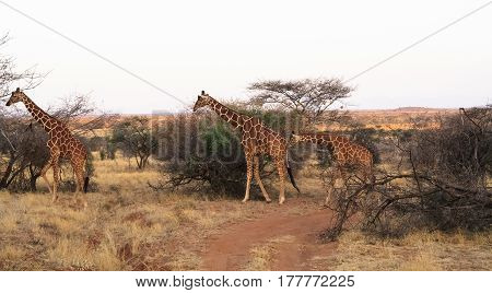 Small herd of reticulated giraffes. Samburu, Kenya