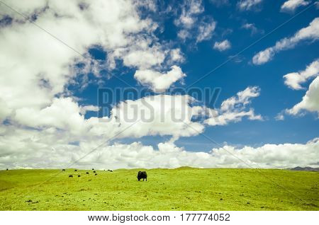 view on Yak in mountain grassland of China