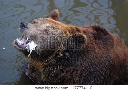 Old brown bear eat a fish remains, furious bear, Grizzly bear eating fish