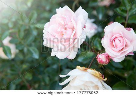 white rose flower blooming in the garden