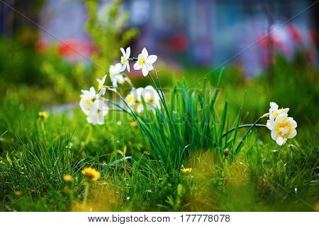 Blooming white daffodils. Flowering narcissus at springtime. Spring flowers. Shallow depth of field. Selective focus.