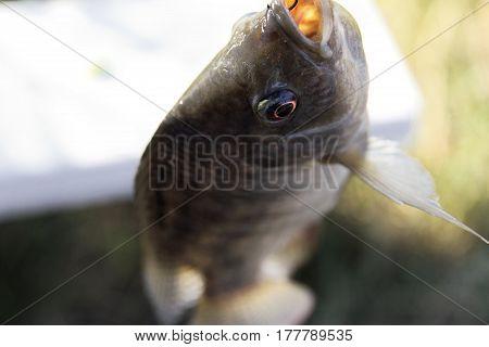 Fish Tilapia hanging hook animal eye nature