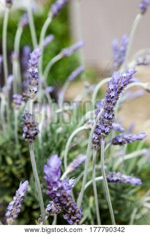 Background of lavender flowers blooming, avender flowers