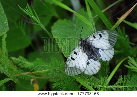 Parnassius mnemosyne Clouded Apollo butterfly in the grass