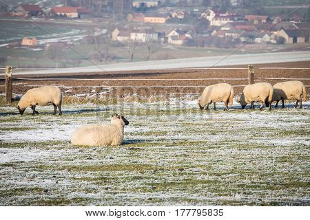 Flock of sheep on meadow in winter season.