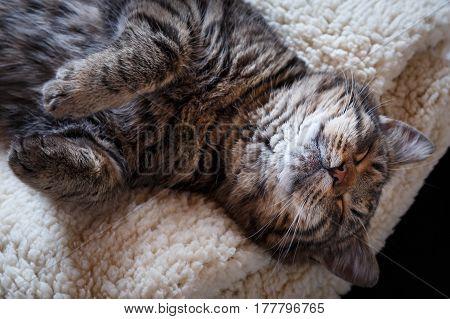 Sleeping tabby cat on white soft pillow
