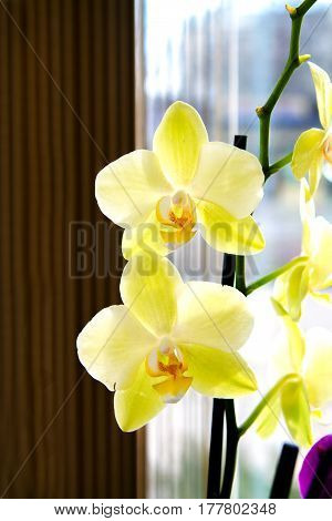 Beautiful Yellow Orchid Flower Room