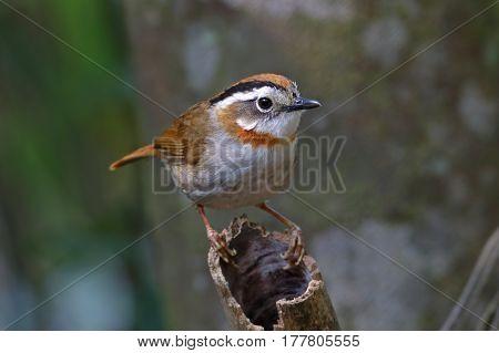 Rufous-throated Fulvetta Schoeniparus rufogularis Cute Birds of Thailand