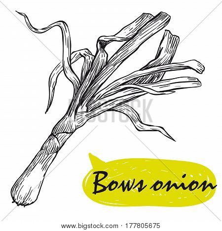 bows onion. hand drawn vector sketch on a white background