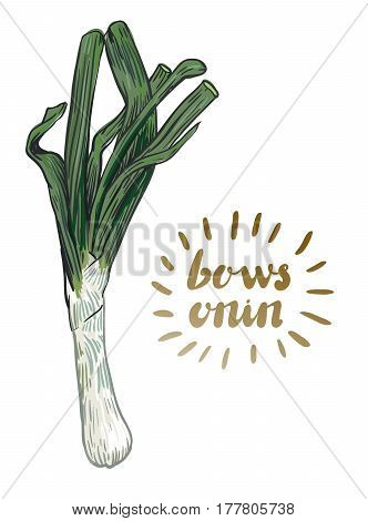 bows onion. hand drawn vector illustration on a white background