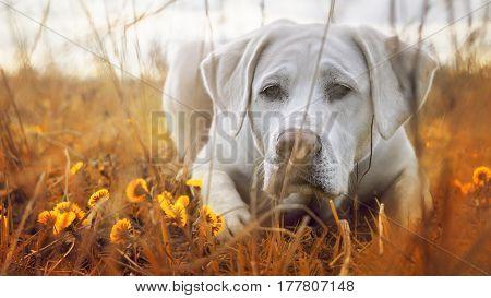 cute white labrador retriever dog puppy on a meadow beneath flowers