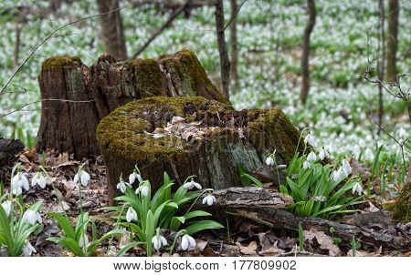Snowdrops Galanthus plicatus near rotten stumps in spring forest