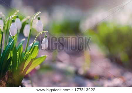 Beautiful snowdrops - galanthus - with droplets of dew under sunbeams. Easter picture with copy space