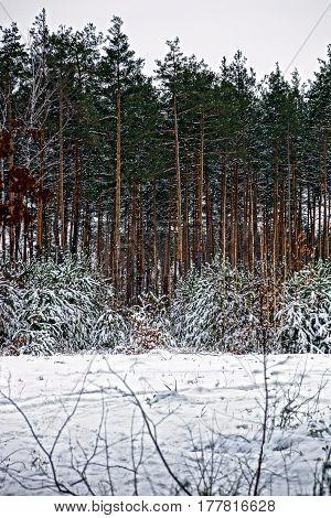 Pine forest in snowdrifts under the snow
