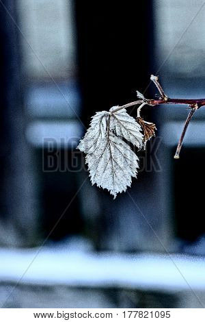 Withered leaf on a branch of raspberry bush in the garden