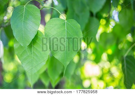 The Bodhi leaf image in the garden