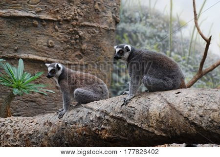 Cute pair of two ring-tailed lemurs sitting together on a fallen tree.