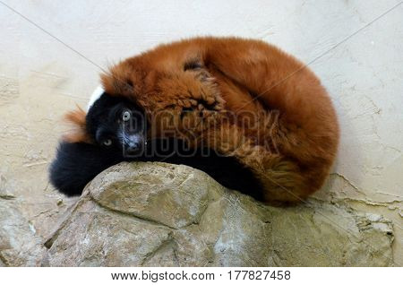 Red ruffed lemur curled up and resting on a rock.