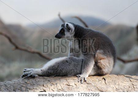 Posing ring-tailed lemur sitting up on a fallen log.