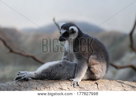 Funny ring-tailed lemur sitting up in a silly pose on a tree.