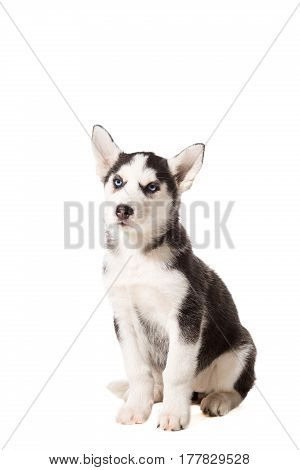 Siberian Husky puppy isolated on a white background. A dog sits and looks into the camera