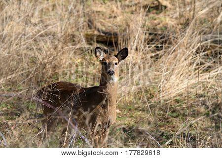 Whitetail Deer doe in grass area in morning sun
