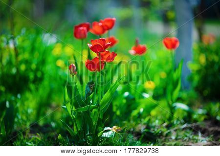 Red tulips brightly lit by the sun. Tulips in the spring against a background of green vegetation. Shallow depth of field. Selective focus.