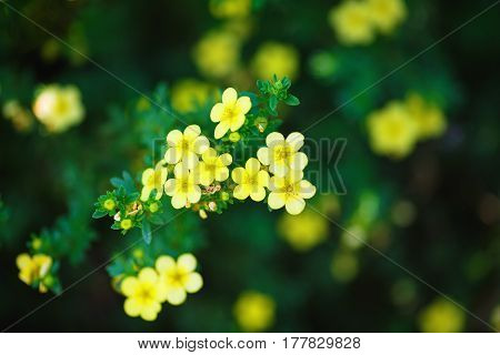 Little yellow flowers against a blurred background of green foliage.Sunny spring day. Shallow depth of field. Selective focus.