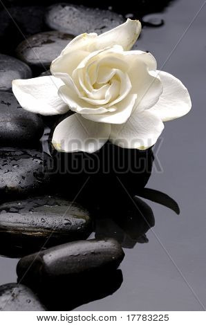 New Growth Gardenia  with black stones on water drop