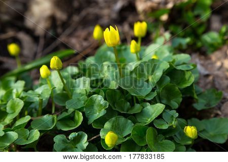 The first spring flowers in forest - Caltha palustris marsh-marigold kingcupup - yellow buds on background of green leaves
